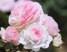 """Pink Prosperity"" rose - Hystorica hybrid musk, quite fragrant.  Bred by Bental in 1931."