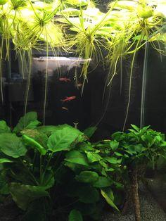 Récupérer l'eau usagée d'un aquarium pour arroser son balcon http://www.pariscotejardin.fr/2015/07/recuperer-l-eau-usagee-d-un-aquarium-pour-arroser-son-balcon/