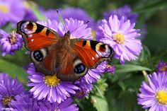 Peacock butterfly with Michaelmas daisy by info-dhphoto