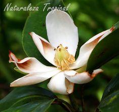 Vista de la flor típica del árbol Magnolia cubensis subsp. acunae