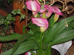 Are calla lilies poisonous to cats and dogs? Calla lilies are toxic to both cats and dogs. Contact your vet or if your pet has been poisoned. Toxic Plants For Cats, Cat Plants, House Plants, Poisonous Plants, Pet Care Tips, Different Plants, Outdoor Plants, Calla Lily, Plant Care