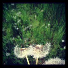 Fiore del Tarassaco
