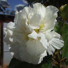 Hibiscus syriacus White Chiffon - Althéa blanc double