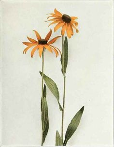 Black Eyed Susan; Yellow Daisy   Rudbeckia hirta to August. In meadows and hay fields it is frequently an obnoxious weed.