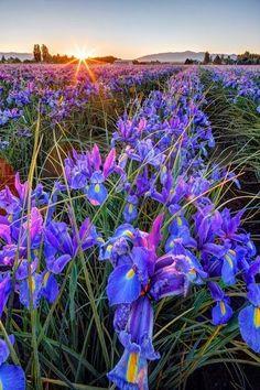 Growing the finest flowers -Iris fields in Washington