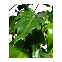 PHILODENDRON XANADU Potted plant - IKEA