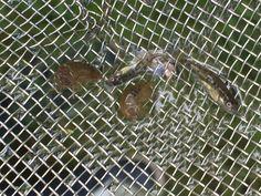 HAC12 en HAT13 op veldwerk aan de Caumerbeek, visjes maar welke?