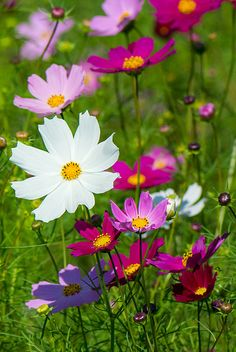 Cosmos by shinichiro*~~ My Mom always had cosmos in her garden, and they … - Gartengestaltung Cosmos Flowers, All Flowers, Flowers Nature, Beautiful Flowers, Fresh Flowers, Annual Flowers, Language Of Flowers, Ikebana, Garden Inspiration