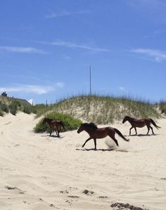 See the wild horses on the beach. Tips for first time visitors to the Outer Banks of North Carolina. Where to stay, what to do, where to eat and more Outer Banks attractions and ideas. Outer Banks North Carolina, South Carolina, Outer Banks Nc, Outer Banks Vacation, Vacation Spots, Vacation Ideas, Kitty Hawk North Carolina, Atlantic Beach North Carolina, Rodanthe North Carolina