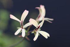 Lìga's pelargoniums.: Pelargonium trifidum