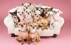 This 2 types of Chihuahua are very popular today. If you want to know the difference about apple head chihuahua and deer head chihuahua, read the short guide about them. Teacup Chihuahua, Chihuahua Puppies, Cute Puppies, Cute Dogs, Dogs And Puppies, Doggies, Pomeranian, Little Dogs, Baby Animals