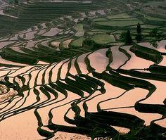 China's rice fields.