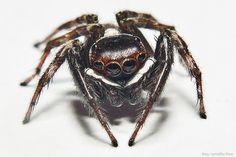 Spider (macro) - uma aranha de banheiro