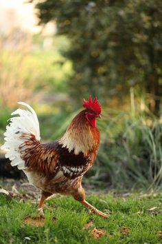 Beautiful Chickens, Beautiful Birds, Animals Beautiful, Hen Chicken, Chicken Art, Funny Chicken, Farm Animals, Animals And Pets, Cute Animals