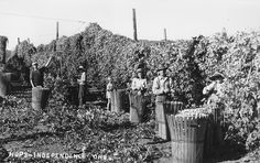 Harvesting hops near Independence, Oregon