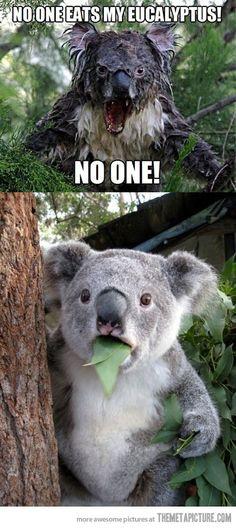 Eucalyptus? What Eucalyptus? I haven't seen it. Really!