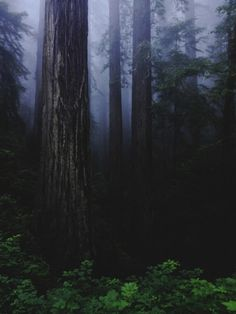 Redwood Forest by Kevin Russ