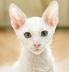 Cornish Rex cat with gorgeous eyes