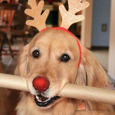 Rudolph was actually a golden :)