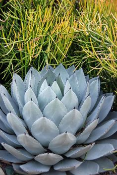 Among the most reliable choices are aloes, penstemons, yucca, agave, cactus and many of the perennial salvias and euphorbias. (Agave parryi and Euphorbia tirucalli 'Sticks on Fire' are shown here.)  Browse great succulents for landscapes