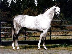 Oldenburg or Oldenburger Horse Breed