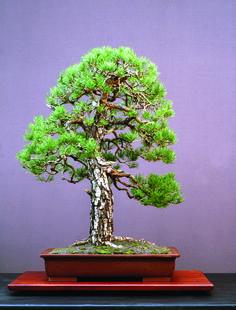 Walter Pall's naturalistic Scots Pine