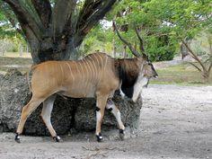 Elande Gigante (taurotragus derbianus)