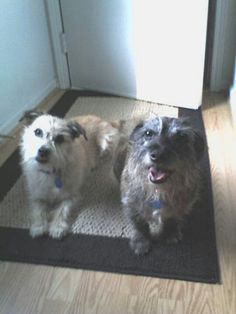 ♡Kyser and Tigger♡ (Cairn Terrier Mix)
