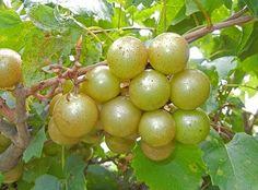 Sweet Jenny Muscadine - Ison's Nursery & Vineyard