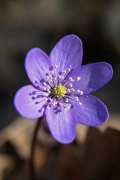 http://wowtastic-nature.tumblr.com/post/114658355997/hepatica-by-michaela-smidova-on-500px-canon