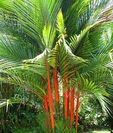 Tropical Palm Trees #Red lipstick palm #Red sealing wax palm