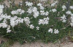 Sand-Nelke im Natur Lexikon