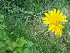 Wild edibles: How to eat and identify cat's ear / flatweed / false dandelion - YouTube
