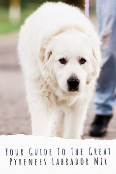 Big Dogs, Large Dogs, Dogs And Puppies, Top Dog Breeds, Large Dog Breeds, Labrador Mix, Labrador Retriever, Great Pyrenees, Mixed Breed