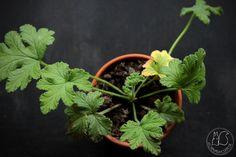 Oravankesäpesä | Tuoksupelargoni, porkkanantuoksuinen Pelargonium' Sweet Mimosa'