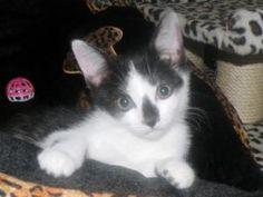 Adopt a Homeless Cat | Starburst | Domestic Short Hair | Furrever Friends Rescue & Volunteers, Inc.