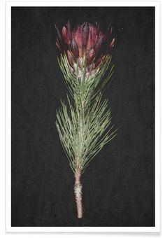 Fynbos Protea als Premium Poster von Shot by Clint | JUNIQE
