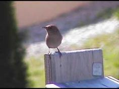 House Wren Sings the song of the day - these guys are little wonders.