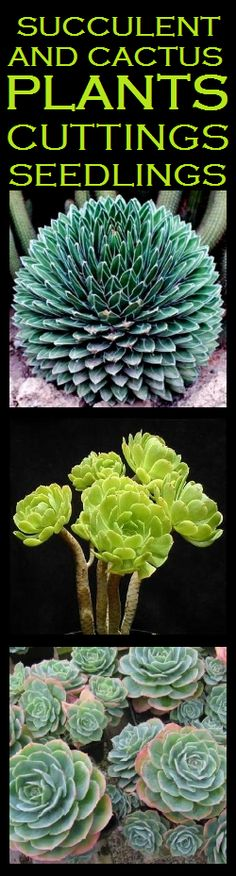 succulents sedum morganianum aka burro 39 s tail or donkey tail flowers foliage pinterest. Black Bedroom Furniture Sets. Home Design Ideas