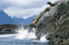 The jumping of South American sea lions Photo by Andres Perez Moreno — National Geographic Your Shot