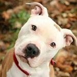 "330 Likes, 17 Comments - Pit Bull Club (@pitbull.club) on Instagram: ""This makes my day... #pitbull_lovers #pit #pitbullsofinstagram #pitbulls #pitbulllove #pitbulldog…"""