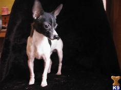 Toy Rat Terrier :) looks just like ditto when he was little!