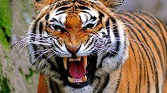 """Tigres  Fotografía """"Tiger attak..."""" de Claudio Gennari disponible bajo licencia CC de atribución 2.0 https://www.flickr.com/photos/claudiogennari/3186012706/"""