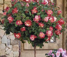 rosa de pie alto double delight