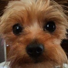 Meet Scooter, an adoptable Yorkshire Terrier Yorkie looking for a forever home. If you're looking for a new pet to adopt or want information on how to get involved with adoptable pets, Petfinder.com is a great resource.