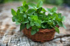 Mäta - Osvieži a pomôže s trávením