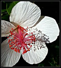 Hibiscus stamens and shadow, Royal Botanic Gardens Sydney, May 2015 by Natalie Hitoun.