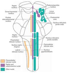 raphe nucleus