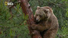 L'ours brun,  le meilleur grimpeur Brown Bear, Decoration, Animals, Decor, Animales, Animaux, Animal, Decorations, Decorating