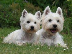 Chien West Highland White Terrier Autre(s) nom(s) Westie, Terrier blanc des Highlands de l'ouest